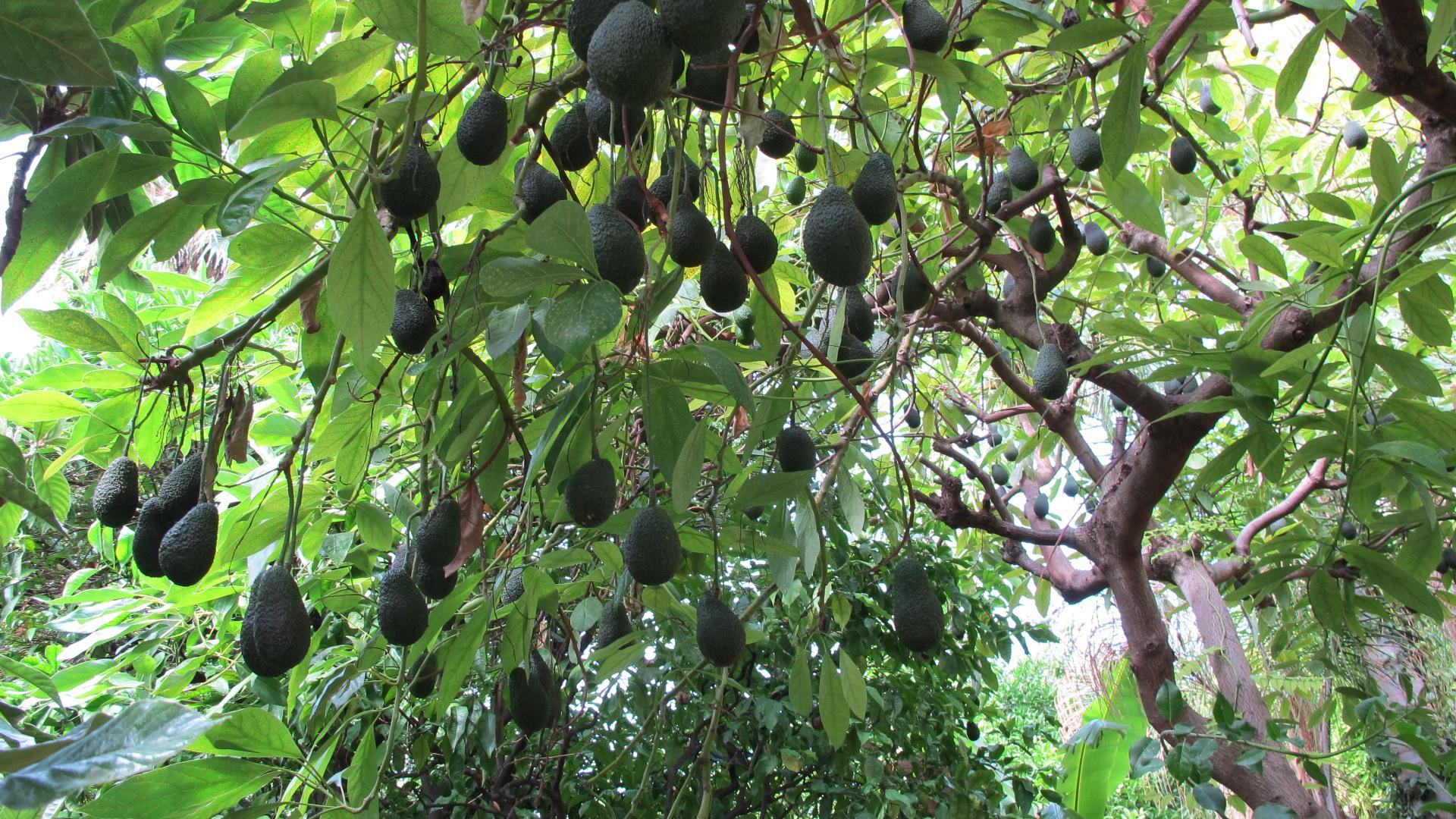 Aventures en permaculture 9 le jardin for t 2 le sauvage - Culture de l avocat ...