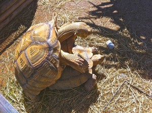 Tortues spiralées du Mali s'accouplant le 16 avril 2016